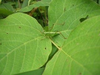 キリギリス幼虫♀1匹【ご入金後2日以内に発送】