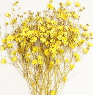 かすみ草・黄