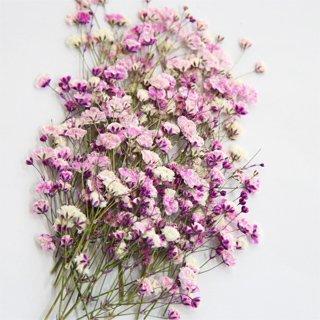かすみ草 ピンク