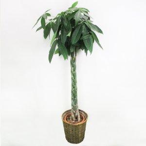 【祝花/鉢植え】観葉植物 - パキラ 10号