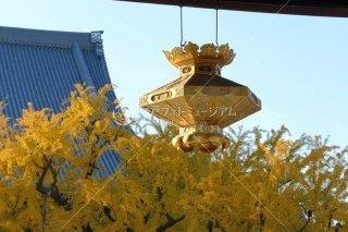 西本願寺 御影堂門と大銀杏