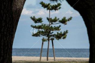 大浜海水浴場の松 洲本