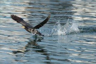 海鵜 飛び立ち