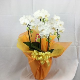 [P0005]胡蝶蘭ミニ白2L