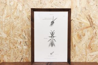 Insect Antique Print