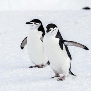 ペーパーナプキン(33)ppd:(5枚)Walking Penguins-PP119