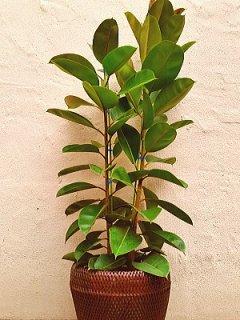 商品ID 8974 観葉植物 ゴムの木
