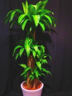 商品ID 9130 観葉植物 幸福の木 マッサン