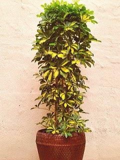 商品ID 9132 観葉植物 ホンコン