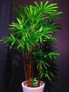 商品ID 9146 観葉植物 シュロチク