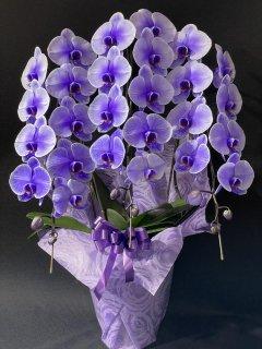 商品ID 3497 胡蝶蘭 パープル 紫 3本立ち