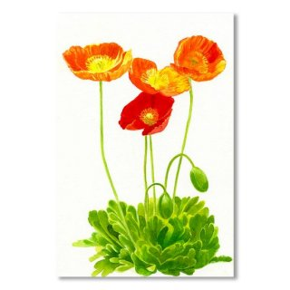 <img class='new_mark_img1' src='https://img.shop-pro.jp/img/new/icons14.gif' style='border:none;display:inline;margin:0px;padding:0px;width:auto;' />Four Orange Poppies with White Background