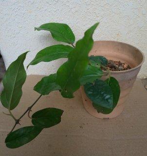 ヒハツ鉢植え 葉っぱ大きめ