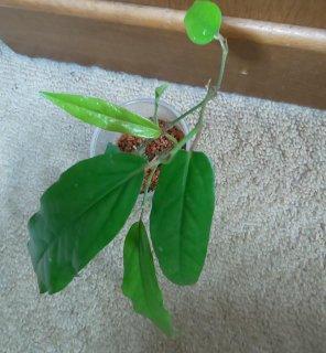 ヒハツの苗 葉っぱ大き目
