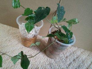 カップ入りヒハツの苗2個セット