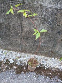 緋寒桜の苗