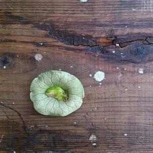 蛙のオーナメント ロータスの葉の上でお昼寝中