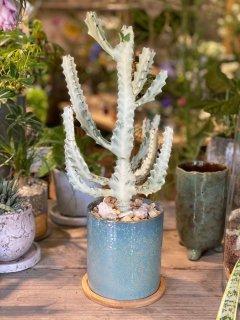 ホワイトゴースト Blue pot