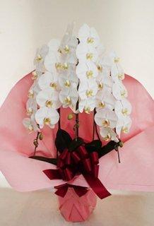 コチョウラン(花キューピットでお届け)