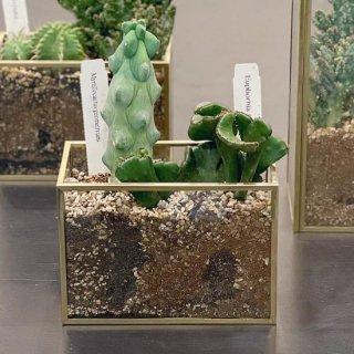 真鍮ガラスベース 多肉植物の寄せ植え 【横長】(宅配でお届け)