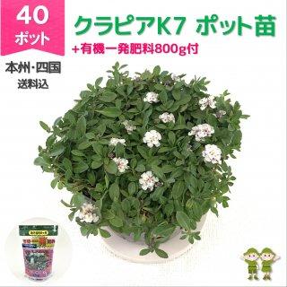 クラピアK7ポット 40個 + 肥料800g【送料込】