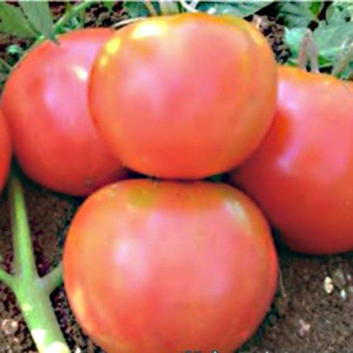 たねの森 / ベルナーロゼ トマト