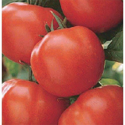 たねの森 / マティーナ トマト