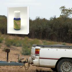 今では希少 ユーカリオイル発祥の地で生産された NASAA認証オーガニック ユーカリ・ブルーマリー精油 10ml (メール便可)2019年11月産