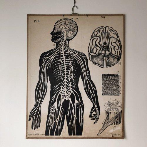 Nerve System Illustration Board