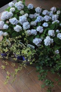 【花苗セット】秋色まで楽しむ伊予獅子手毬ブルーのブリコラージュフラワー