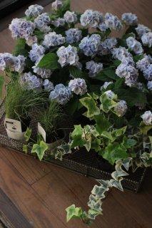 【花苗セット】秋色まで楽しむ伊予獅子手毬ブルーのブリコラージュフラワー/B