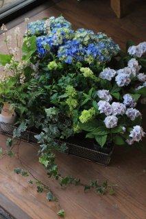 【花苗セット】紫陽花星あつめブルーと山アジサイ伊予獅子手毬ブルーのブリコラージュフラワー