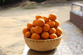 ルビーオレンジ(瀬戸田1号)5kg |  生口島産 無農薬