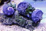 カタチョウジ貝