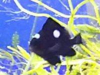 石垣島産 ミツボシクロスズメ 約2-3センチ