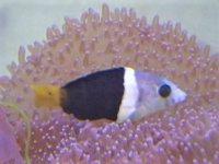 石垣島産  タレクチベラ(もう少しで成魚カラーになりそう)