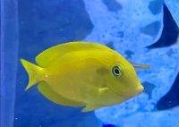 石垣島 モンツキハギ 幼魚