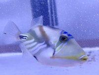 石垣島産 ムラサメモンガラ幼魚