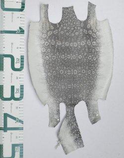 プレミアム・レザー/リングトカゲ(ナチュラル)Pln-17