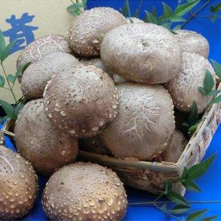無農薬、無肥料で育てた、伊豆の新鮮な生しいたけ(箱入1.2kg)