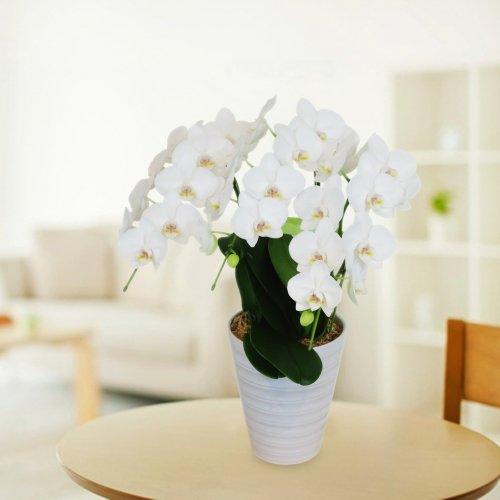 白 胡蝶蘭 3本立ち 約36輪前後 高さ約60cm