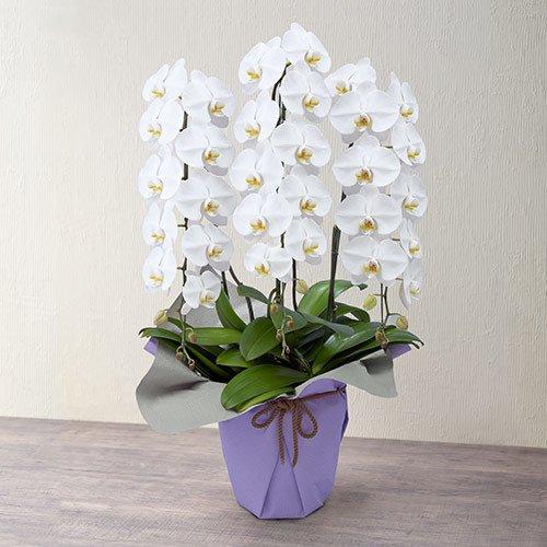 白 胡蝶蘭 3本立ち 約42輪前後 高さ 約80cm