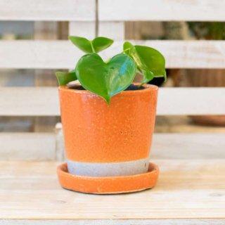 ハートフィロデンドロン-[カラーグレイズドポット入り-カラー:オレンジ-]-受け皿付