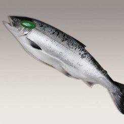 釧路産 定置網極上時鮭<特大>