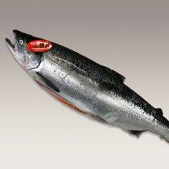 紅鮭<中・約2.3kg>(ロシア産)