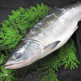 天然時鮭一本物 約2.3kg 送料無料