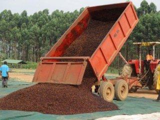 Uganda カウェリ農園 ロブスタ種 ナチュラル 中煎り