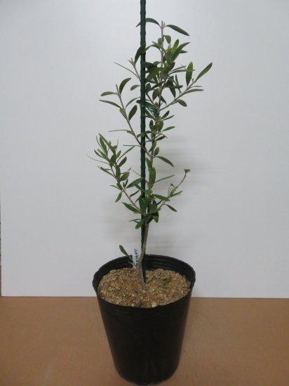 Cipressino シプレッチーノ/7号/CP-7-001