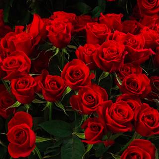 【追加注文専用】プレミアムローズ 大輪薔薇 赤