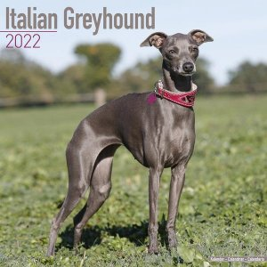 Avonside イタリアングレーハウンド カレンダー Italian Greyhound